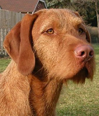 Vizsla (Wirehaired) Breed Information: History, Health, Pictures, and ...