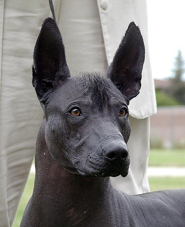 Mexican Hairless Dog Xoloitzcuintli Home View The Full Image
