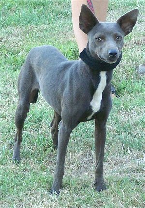 Mexican Hairless Dog ( Xoloitzcuintli ) Breed Information ...