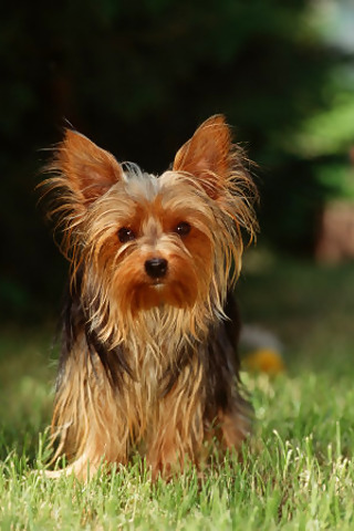 yorkie history yorkshire terrier breed information history health 5932