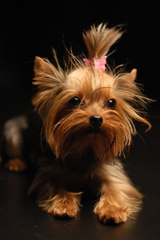 yorkie history yorkshire terrier breed information history health 7579