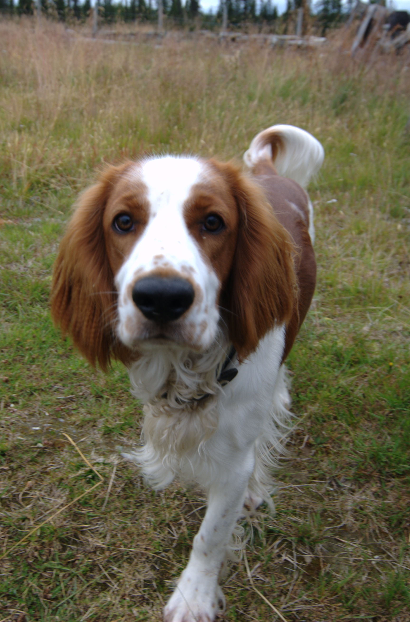 Welsh Springer Spaniel Breed Information History Health Pictures