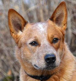 Australian Cattle Dog (2).jpg