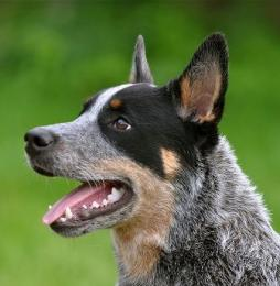 Australian Cattle Dog (3).JPG