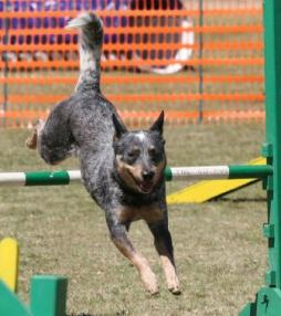 Australian Cattle Dog (4).jpg