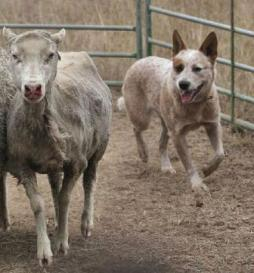 Australian Cattle Dog.jpg