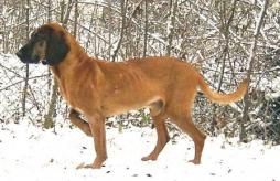 Bavarian Mountain Hound.jpg