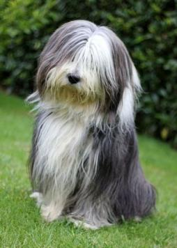 Bearded Collie.jpg