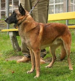 Belgian Shepherd Dog- Malinois (1).jpg