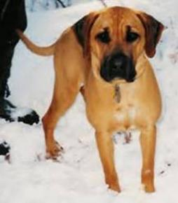 Black Mouth Cur (3).jpg