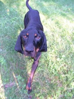Black and Tan Coonhound (1).jpg