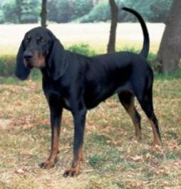 Black and Tan Virginia Foxhound(2).jpg