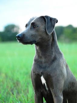 Blue Lacy Dog Breed (2).jpg