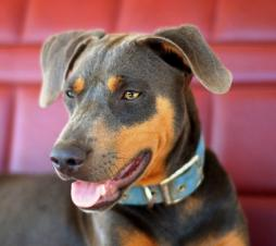 Blue Lacy Dog Breed (3).jpg