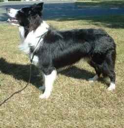 Border_Collie (3).jpg