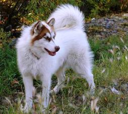 Canadian Eskimo Dog (2).jpg