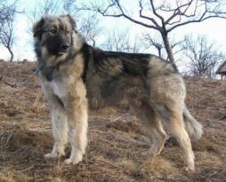 Carpathian Shepherd Dog.jpg