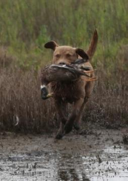Chesapeake Bay Retriever.jpg