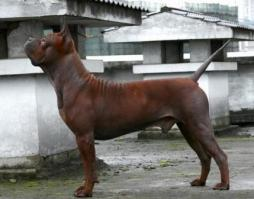Chinese Chongqing Dog (2).jpg