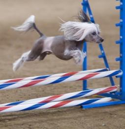 Chinese Crested Dog (1).jpg