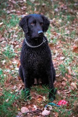 Curley Coated Retriever.jpg