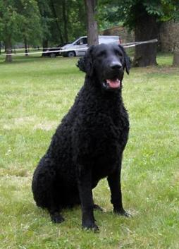 Curly Coated Retriever (1).jpg
