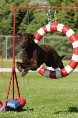 Curly Coated Retriever (2).jpg