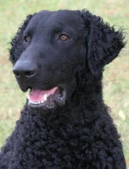 Curly Coated Retriever (4).jpg