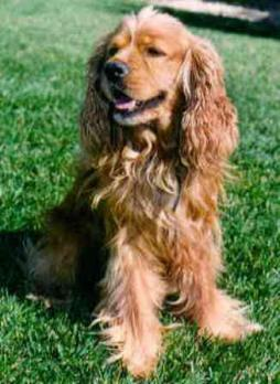 English Cocker Spaniel.jpg