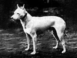 English_White_Terrier.jpg
