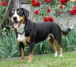 Entlebucher Mountain Dog (1).jpg