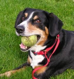 Entlebucher Mountain Dog (3).jpg