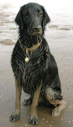 Flat-Coated Retriever (1).jpg