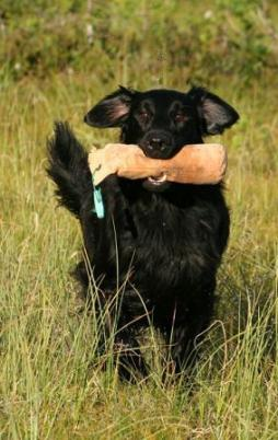 Flat-Coated Retriever (2).jpg