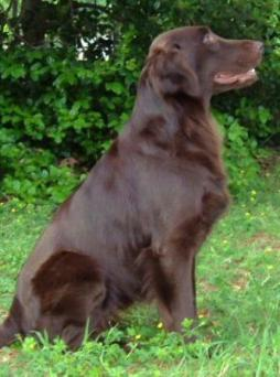 Flat-Coated Retriever (6).jpg