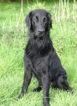 Flat-Coated Retriever (7).jpg