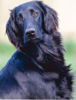 Flat-Coated Retriever.jpg