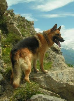 German Shepherd Dog.jpg (7).jpg