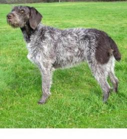German Wirehaired Pointer.jpeg
