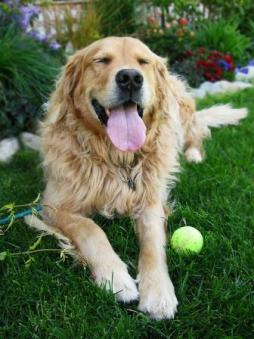 Golden Retriever (10).jpg