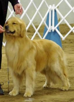 Golden Retriever (13).JPG