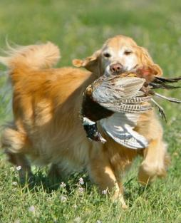 Golden Retriever (14).jpg