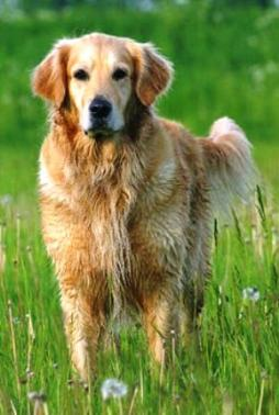 Golden Retriever (19).jpg