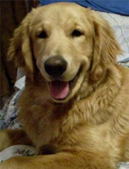 Golden Retriever (9).jpg
