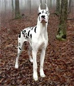 Great Dane (2).jpg