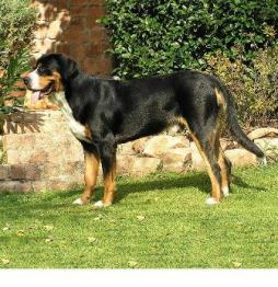Greater Swiss Mountain Dog (3).JPG
