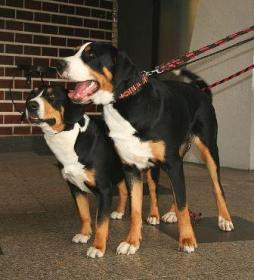 Greater Swiss Mountain Dog (4).jpeg