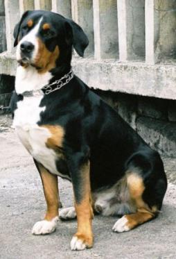 Greater Swiss Mountain Dog.jpg
