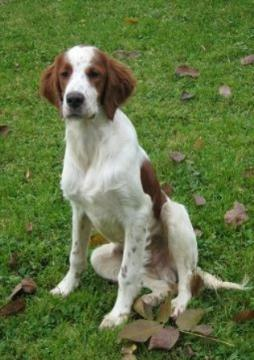 Irish Red and White Setter (1).jpg