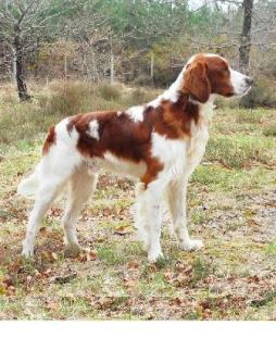 Irish Red and White Setter.jpg